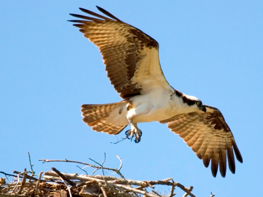 Osprey-bird watching-Martin Environmental